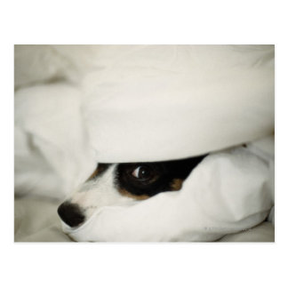 Dog's Nose Sticking Out From Bedding Postcard