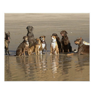 Dogs sitting on beach poster