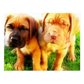 Dogue de Bordeaux puppies postcard