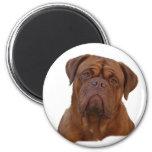 Dogue De Bourdeaux, French mastiff Fridge Magnets