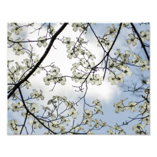 Dogwood Blossoms and Blue Sky Photo Print