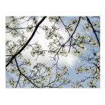 Dogwood Blossoms and Blue Sky Post Card