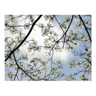 Dogwood Blossoms and Blue Sky Postcard