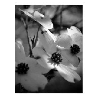 Dogwood Blossoms Bk-Wh-V Postcard
