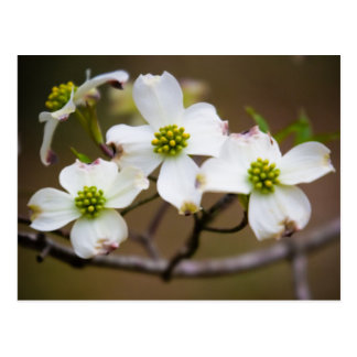 Dogwood in Bloom Postcard