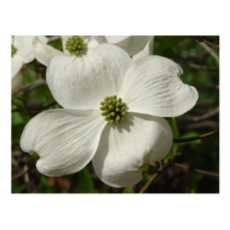 Dogwood Post Card