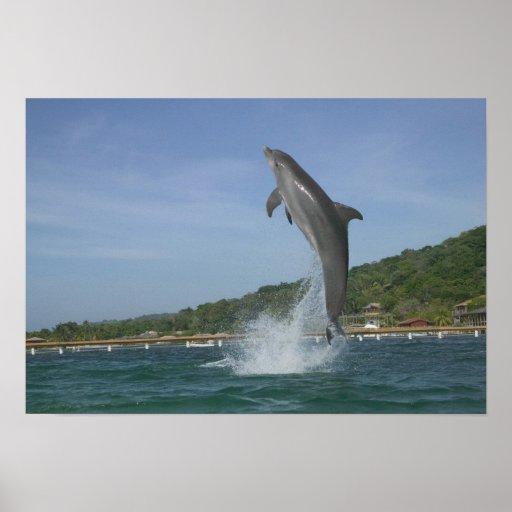 Dolphin jumping, Roatan, Bay Islands, Honduras Posters