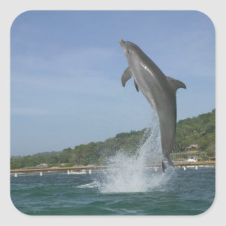 Dolphin jumping, Roatan, Bay Islands, Honduras Square Sticker