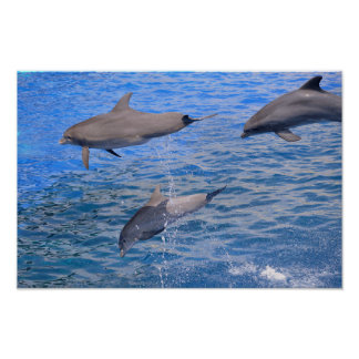 Dolphins jumping out of water poster