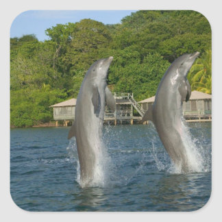 Dolphins jumping, Roatan, Bay Islands, Square Sticker