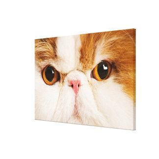 Domestic cat. Calico Harlequin Persian. Close up Canvas Print