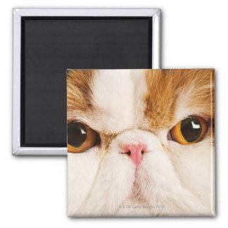 Domestic cat. Calico Harlequin Persian. Close up Square Magnet
