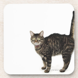 Domestic male tabby cat standing coaster