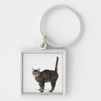 Domestic male tabby cat standing key ring