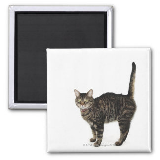 Domestic male tabby cat standing magnet