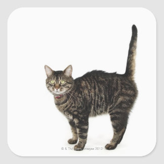 Domestic male tabby cat standing square sticker