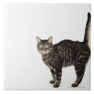 Domestic male tabby cat standing tile