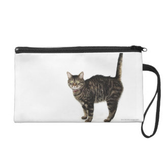 Domestic male tabby cat standing wristlet