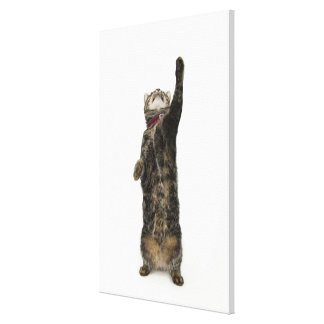 Domestic tabby cat standing on two legs reaching canvas print