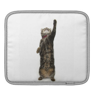 Domestic tabby cat standing on two legs reaching iPad sleeve