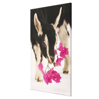 Domesticated British Alpine goat (kid). Black Canvas Print
