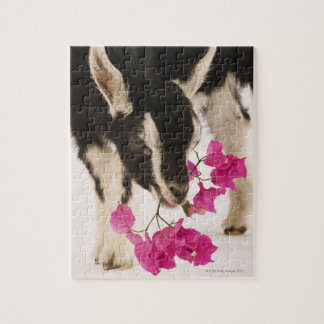 Domesticated British Alpine goat (kid). Black Jigsaw Puzzle