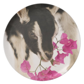 Domesticated British Alpine goat (kid). Black Plate