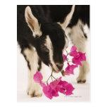 Domesticated British Alpine goat (kid). Black Postcard