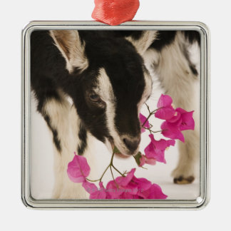Domesticated British Alpine goat (kid). Black Silver-Colored Square Decoration