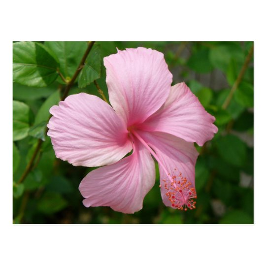 Dominican Republic flower Postcard