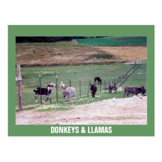 DONKEYS & LLAMAS POSTCARD