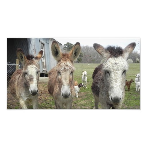 Donkeys Photo