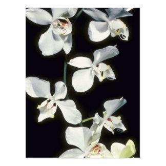 Doris P. Benson's (Phalaenopsis) flowers Post Card
