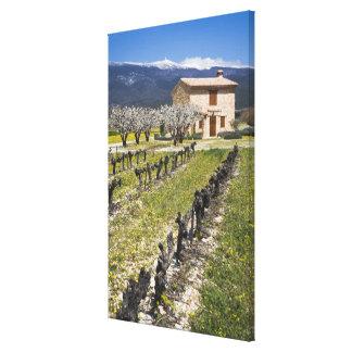 Dormant vineyard, fruit blossoms, stone house, canvas print