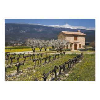 Dormant vineyard, fruit blossoms, stone house, photo print
