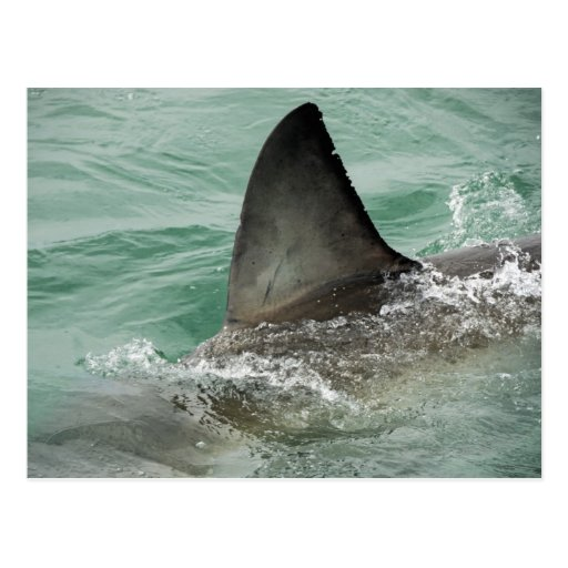 Dorsal aileron of a Great White shark Post Cards