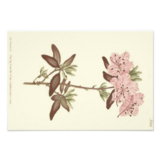 Dotted Leaved Rhododendron Illustration Photo Print