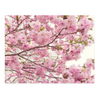 Double cherry blossoms in Japan Postcard