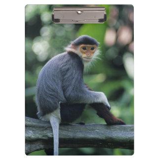 Douc langur (Pygathrix nemaeus) sitting on Clipboard
