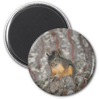 Douglas' Squirrel, Oregon Cascades 6 Cm Round Magnet