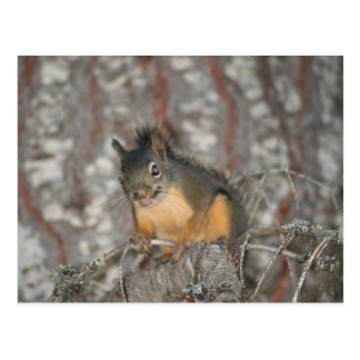 Douglas' Squirrel, Oregon Cascades Postcard