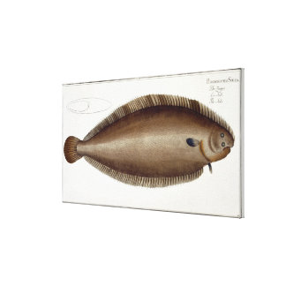 Dover Sole (Solea Solaea) plate XLV from 'Ichthyol Canvas Print