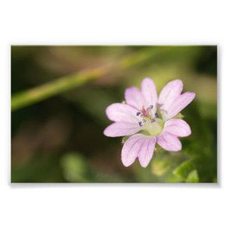 Dovesfoot Geranium Photo