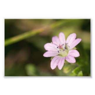 Dovesfoot Geranium Photo Print