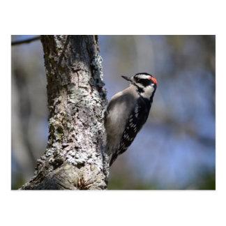 Downy Woodpecker Postcard