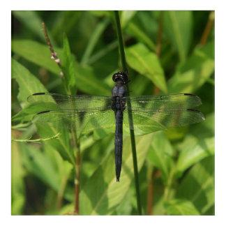 Dragonfly, Acrylic Print. Acrylic Print