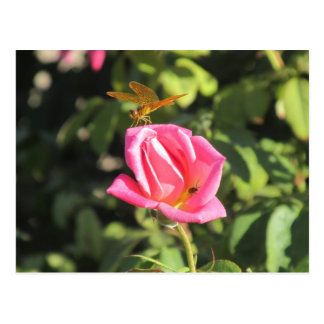 Dragonfly and Ladybug on Pink Rose Postcard