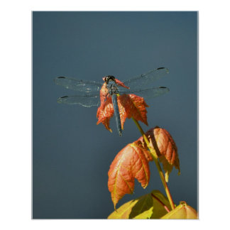 Dragonfly at rest on maple branch poster