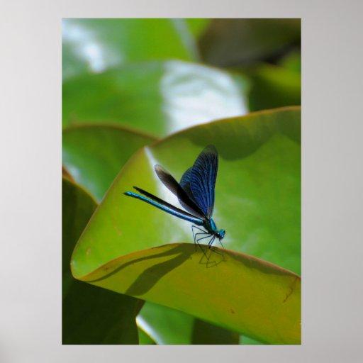 Dragonfly: Blue wing splendour dragonfly, Print