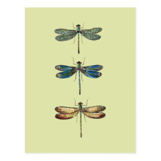 Dragonfly Illustrations Postcard